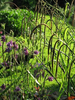Aquilegia and grasses